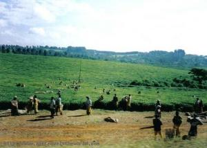 malawi_tea_plantations